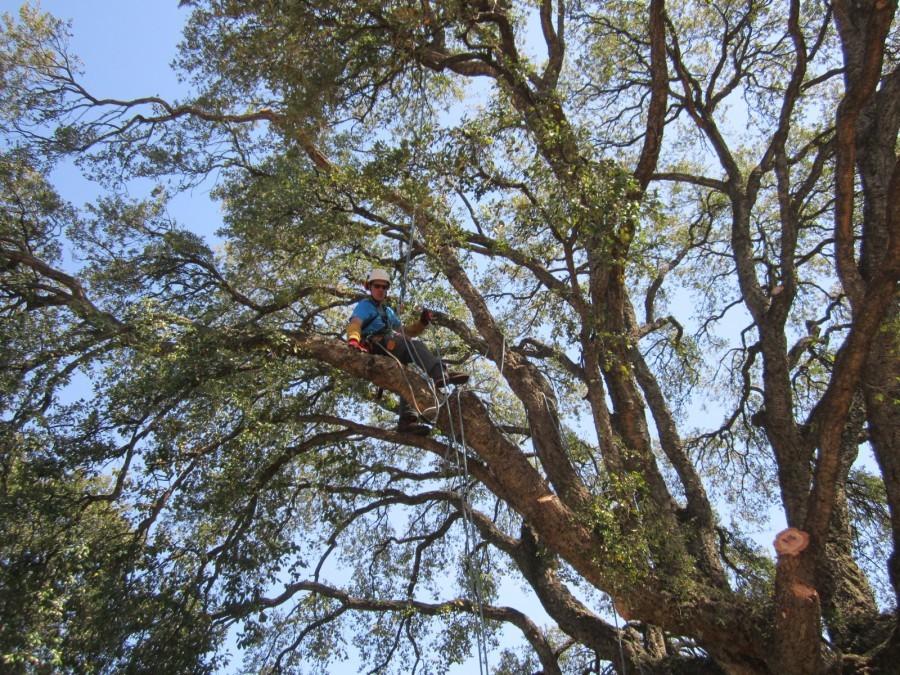 Taille de chêne liège 400 ans